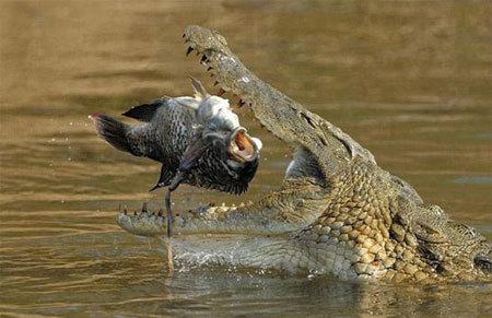 Cá sấu tấn công người