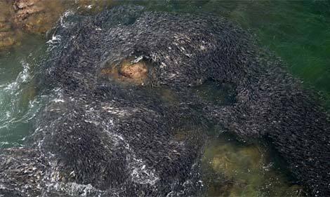 Cá dạt hàng loạt về Mexico do động đất Nhật 20110314102741_c4