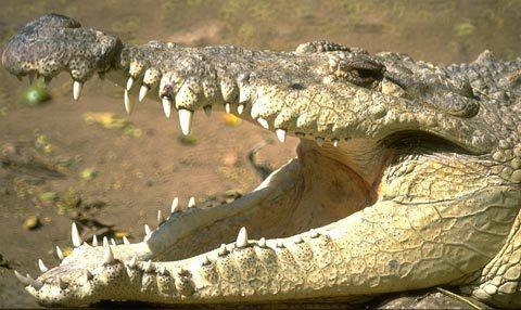 Gieo mình cho cá sấu vì giận người yêu