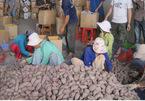 Người TQ thuê đất Việt Nam trồng... khoai lang