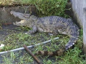 Con cá sấu bắt được trên bờ suối Bời Lời (Nguồn: Tây Ninh online)