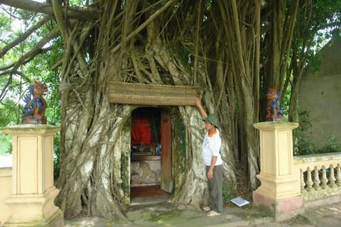 Xã hội - Cuộc chiến giữ… 'cây vàng' trong ngôi đền cổ (Kỳ 2) (Hình 3).