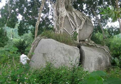Ngắm cây sanh 'có 1 không 2', giá hàng chục tỷ ảnh 1