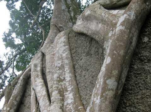 Ngắm cây sanh 'có 1 không 2', giá hàng chục tỷ ảnh 8
