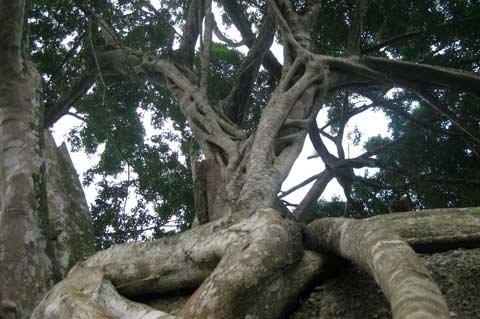 Ngắm cây sanh 'có 1 không 2', giá hàng chục tỷ ảnh 9