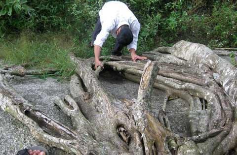 Ngắm cây sanh 'có 1 không 2', giá hàng chục tỷ ảnh 10