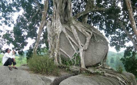 Ngắm cây sanh 'có 1 không 2', giá hàng chục tỷ ảnh 12