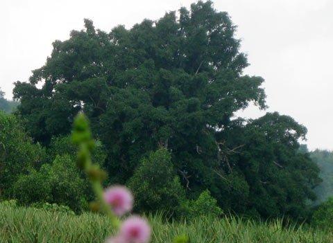 Ngắm cây sanh 'có 1 không 2', giá hàng chục tỷ ảnh 13