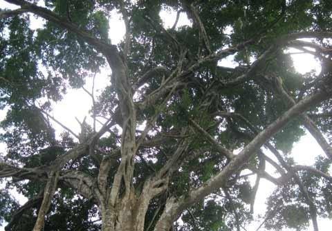 Ngắm cây sanh 'có 1 không 2', giá hàng chục tỷ ảnh 2