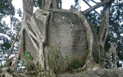 Ngắm cây sanh 'có 1 không 2', giá hàng chục tỷ ảnh 3