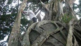 Ngắm cây sanh 'có 1 không 2' hàng chục tỷ