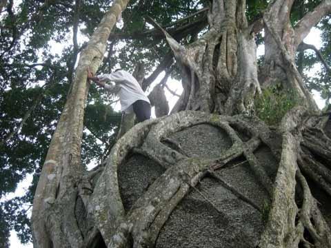 Ngắm cây sanh 'có 1 không 2', giá hàng chục tỷ ảnh 4