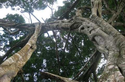Ngắm cây sanh 'có 1 không 2', giá hàng chục tỷ ảnh 5