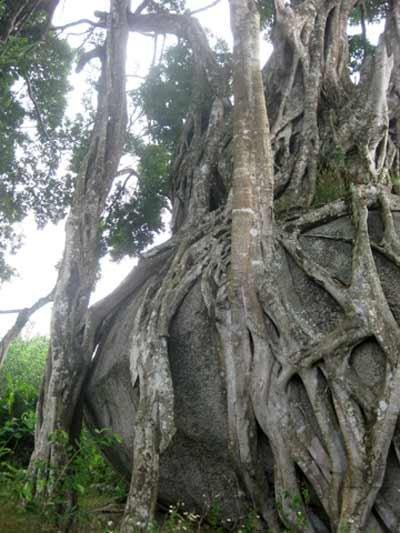 Ngắm cây sanh 'có 1 không 2', giá hàng chục tỷ ảnh 6