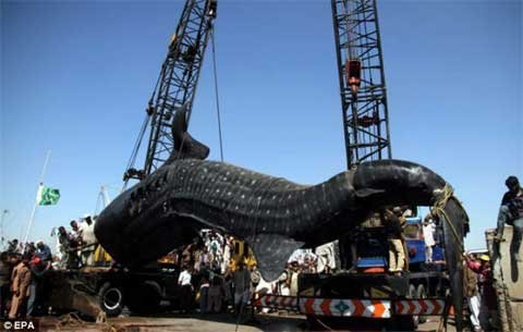 40 Ton Whale Shark