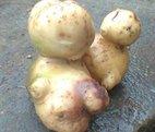 Củ khoai tây mẹ con được trả 500 nghìn đồng