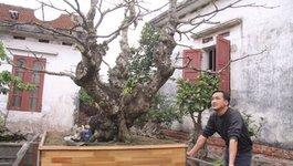 Cây sanh già từng được trả 30 cây vàng