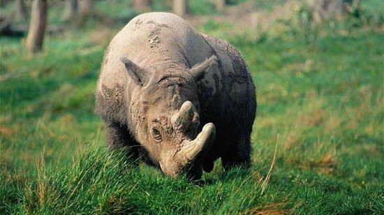 Tê giác Java (tê giác một sừng) đã tuyệt chủng tại