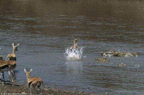 Cảnh linh dương thoát khỏi miệng cá sấu trong gang tấc