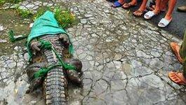 Ráo riết truy bắt đàn cá sấu sổng chuồng