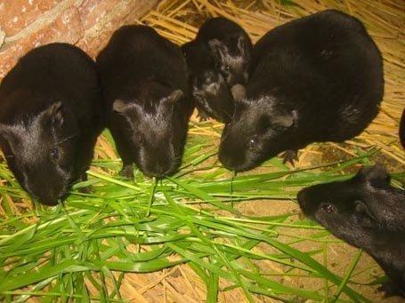 Nhà báo khẳng định chồn nhung đen là loài Chuột đồng cỏ