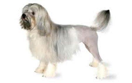 Hình 1: giống chó Lowchen
