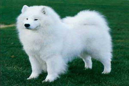 Hình 3: giống chó Samoyed