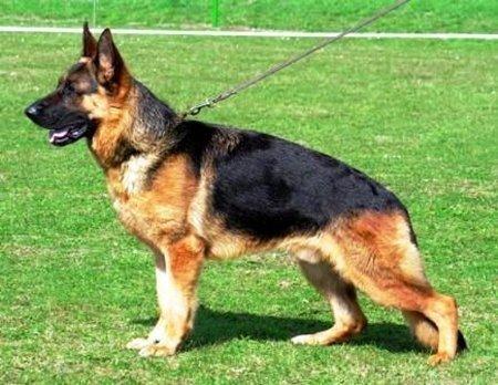 Hình 4: Giống chó Becgie