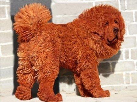 Hình 6: Giống chó Ngao Tây Tạng