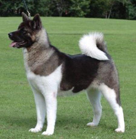Hình 8: Giống chó  Akita
