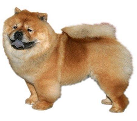 Hình 9: Giống chó  Chow Chow