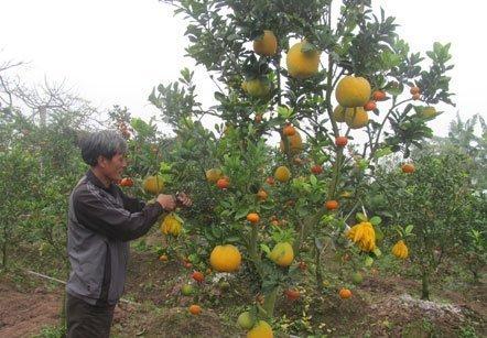 Kỳ lạ cây ngũ quả chỉ có ở Hà Nội