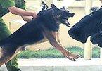 Trại huấn luyện chó nghiệp vụ lớn nhất VN