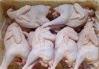 100 % gà thải loại có chất cấm