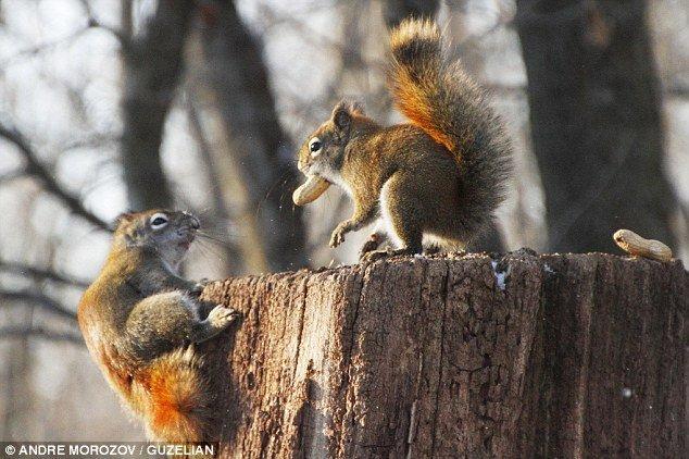 Một con sóc đỏ trèo lên gốc cây khô với ý định tranh phần thức ăn của đồng  loại.