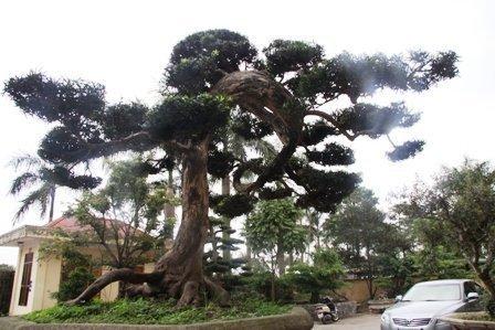 Vietnam's ancient pine tree in world's top 100 ornamental plants
