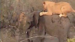 Đàn sư tử đói xé xác cả voi rừng