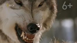 Xem chó sói xé xác bò rừng