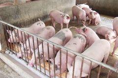 Thương lái Trung Quốc ồ ạt gom mua lợn, thịt tăng giá