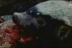 Lửng mật xơi tái cả thằn lằn khủng monitor