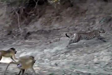Báo gấm bị bầy khỉ đầu chó 'truy sát'