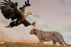Báo đốm bắt sống đại bàng trên ngọn cây