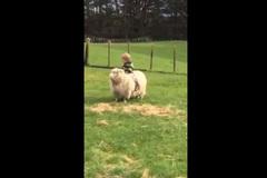 Clip bé cưỡi cừu hút 3 triệu lượt xem