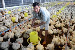 Đùi gà Mỹ giá 20 ngàn khiến người chăn nuôi lỗ 1.300 tỷ