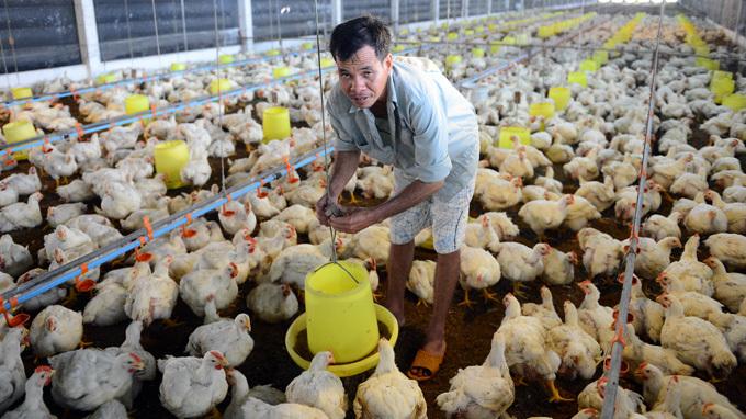 thịt-gà-mỹ, nhập-khẩu, giá-rẻ, người-chăn-nuôi, thua-lỗ, Việt-Nam, thịt gà Mỹ, nhập khẩu, giá rẻ, người chăn nuôi, thua lỗ, Việt Nam