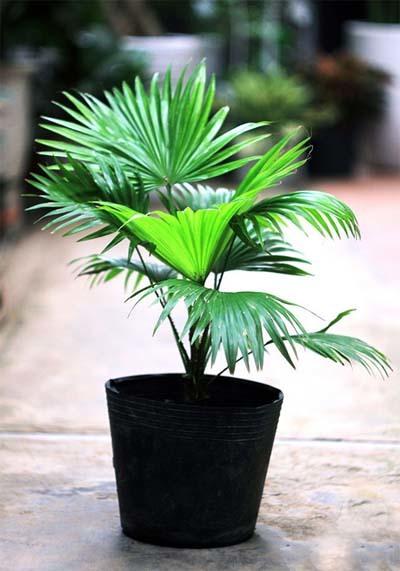 cây cảnh mini, cây cảnh hút độc khí trong nhà, cây cảnh trồng trong nhà