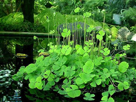 Tự trồng cỏ ba lá, cỏ bốn lá trang trí bàn làm việc cực xinh