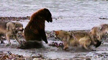 Gấu xám đánh bật bầy sói dữ để cướp mồi