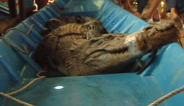 Tá hỏa phát hiện cá sấu 2,2m trong đầm tôm