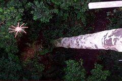 Phát hiện loài nhện biết bay kỳ lạ ở Nam Mỹ